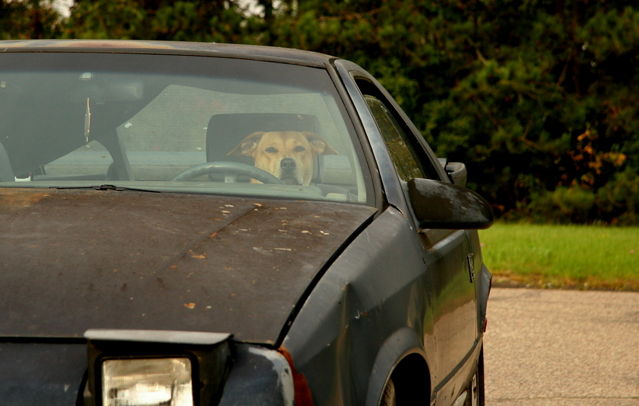 Driver Dogs
